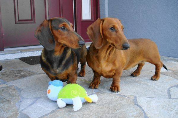 Healthy Dachshund puppies