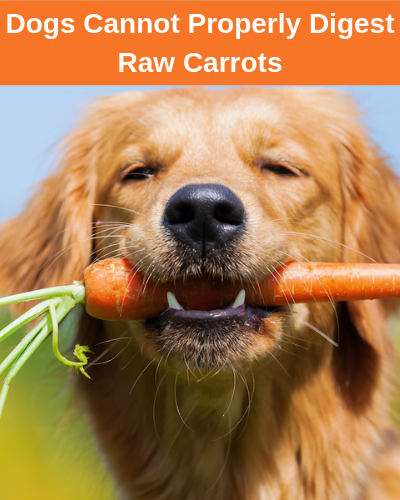 Dogs cannot digest raw carrots